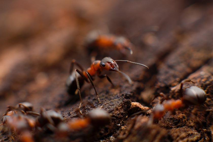 Ameisen-Insekten